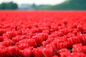 Photo of the Day: Tulip Fields near Amsterdam, the Netherlands