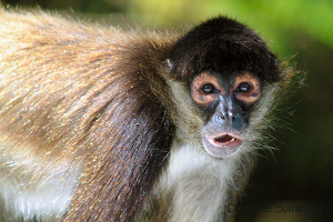 Photo of the Day: Spider Monkey in Belize