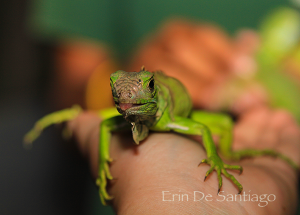 Photo of the Day: Baby Green Iguana in San Ignacio, Belize