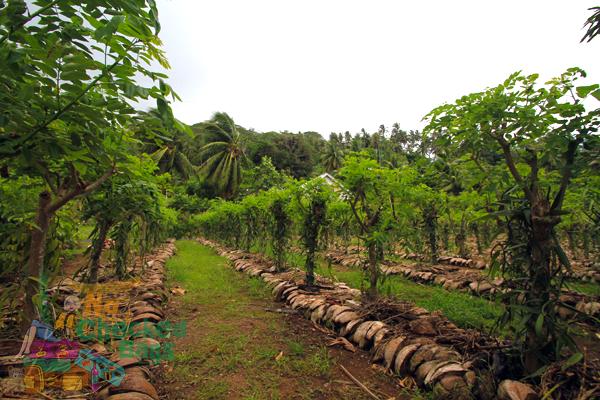 Tahitian Vanilla Plantation