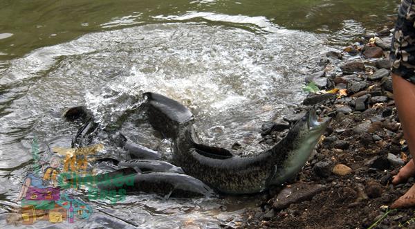 Blue eyed eels in Huahine